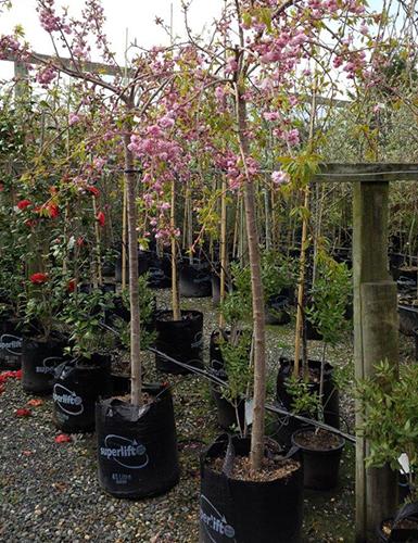 Prunus-Kiku-shidare-zakura