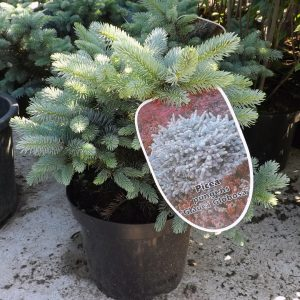 Сребрист смърч къбловиден / Picea pungens Glauca Globosa