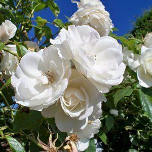Бяла влачеща роза - N1