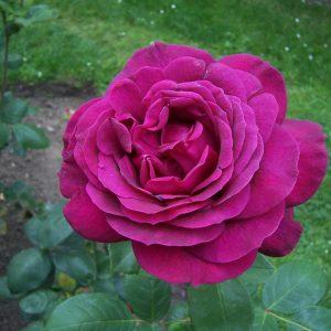 Розова Ароматна - Чаено Хибридна Роза - N10