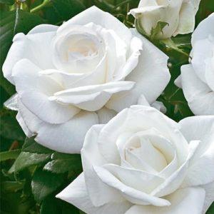 Бяла - чаено хибридна роза - N15