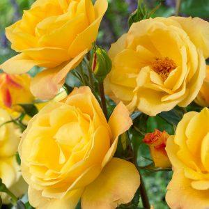 Жълта - чаено хибридна роза - N16