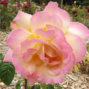 Жълто - розова - чаено хибридна роза - N20