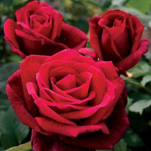 Червена Ароматна – Чаено Хибридна Роза – N8