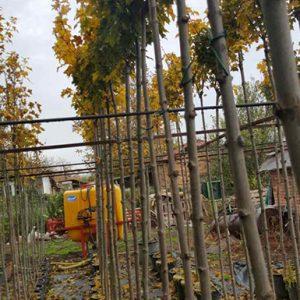 Шестил (Млечен явор) / Acer platanoides