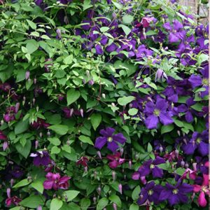 Clematis-Polish-Spirit