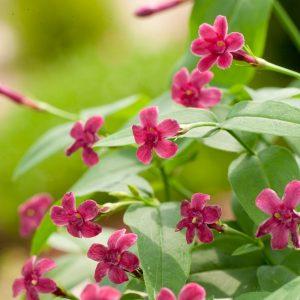 Розов Жасмин / Jasminum beesianum