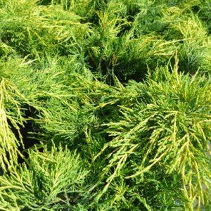 Juniperus-Pfitzeriana-Aurea1
