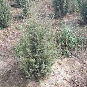 Juniperus-communis-Hibernica