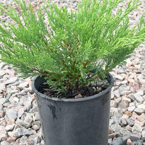 Juniperus-horizontalis-Andorra-compacta