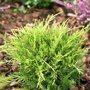 Juniperus-media-Old-Gold