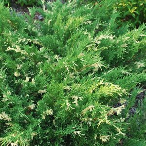 Juniperus-sabina-Variegata