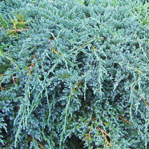 Juniperus-squamata-Blue-Swede