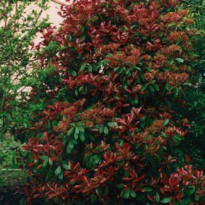 Photinia-fraseri-Red-Robin