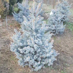 Picea pungens (Сребрист смърч) Fat Albert