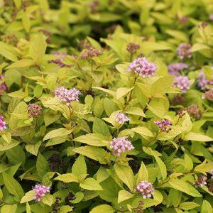 Spiraea-japonica-Golden-Princess (1)