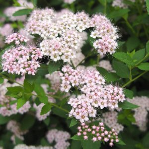 Spiraea-japonica-Little-Princess