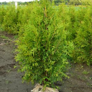 Thuja-occidentalis-Brabant1