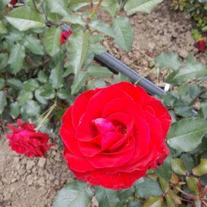 Червена влачеща роза - N6