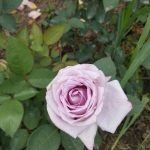 Лилава влачеща роза - N4