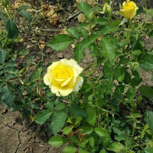 Жълта влачеща роза – N2