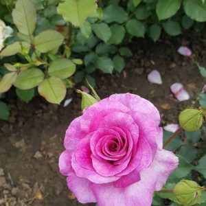 Виолетова Ароматна - Чаено Хибридна роза - N9