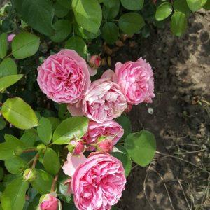 Розова влачеща роза - N3