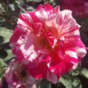 Бяло - розова - биколор - чаено хибридна роза - N14