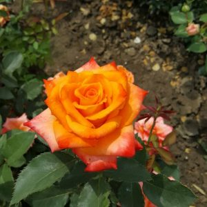 Оранжева - чаено хибридна роза - N11