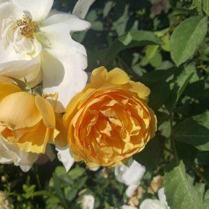 Оранжева влачеща роза - N5