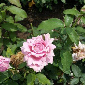 Светло розова - чаено хибридна роза - N18
