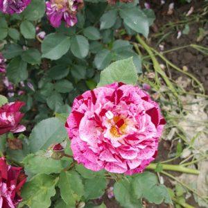 Бяло - лилава - чаено хибридна роза - N13