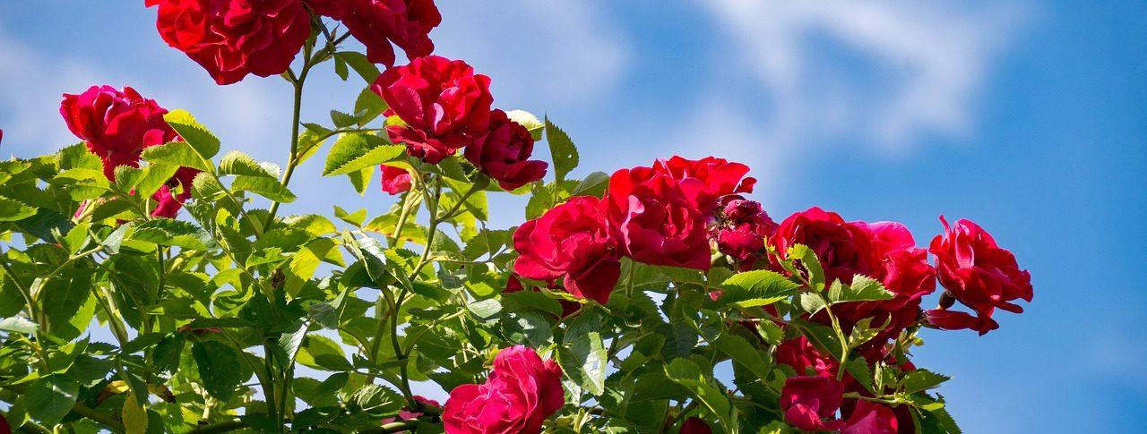 Най-висококачествените и ароматни рози