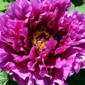 Божур / Paeonia suffr. pink