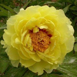 Божур / Paeonia suffr. yellow