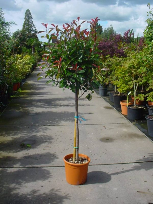 Фотиния на стебло Photinia fraseri 'Red Robin' stam