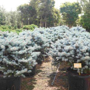 Кълбовиден сребрист смърч / Picea pung. glauca globosa