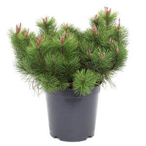 Кълбовиден бор / Pinus mugo Mughus