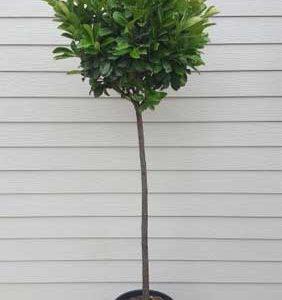 Лавровишна на стебло Prunus laur. Enta stam