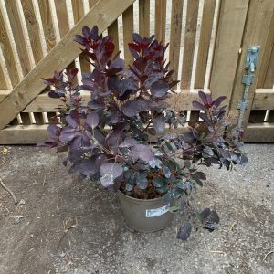 Смрадлика червена / Cotinus royal purple