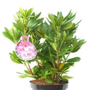 Рододендрон - Сортове / Rhododendron